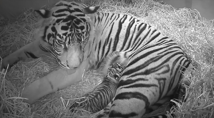 Ein seltener Sumatra-Tiger gebärt ihr Junges... Aber die Überraschungen enden nicht hier
