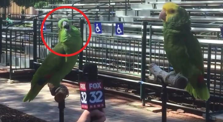 Ein Berichterstatter interviewt 2 Papageien: das Ergebnis ist unglaublich