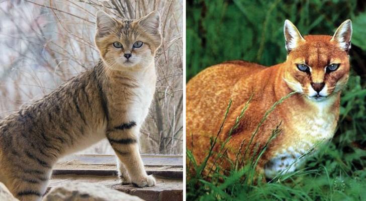 Limpareggiabile Bellezza Dei Felini Ecco Alcuni Tra I Gatti