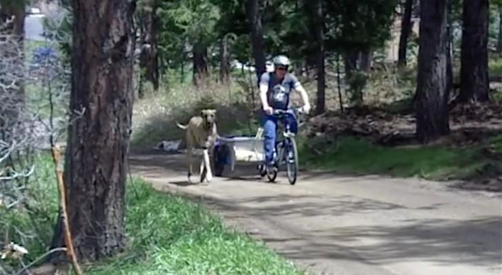 Un alano corre vicino al padrone in bicicletta. Guardate cosa accade quando si stanca!