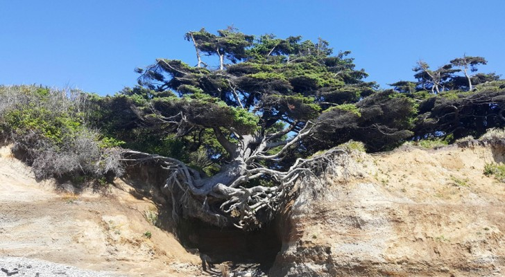 Der Lebensbaum von Kalaloch, der jeden Tag gegen den Tod kämpft