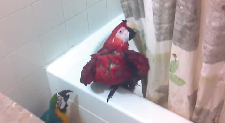He goes in the bathroom --- what his Macaw parrots are doing is hilarious!
