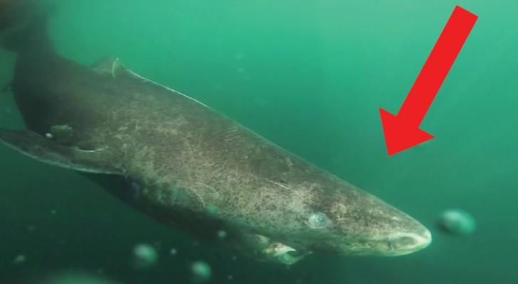 Den här hajen kan väga upp till ett ton, men den har ett annat världsrekord