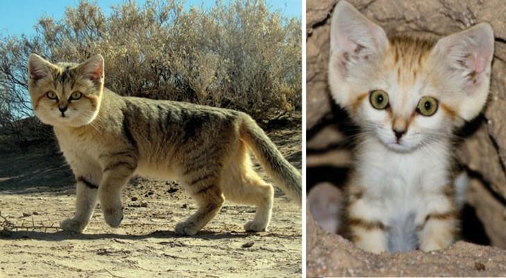 Questo piccolo gatto selvatico è stato fotografato per la prima volta dopo 10 anni