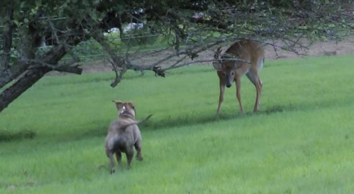 Een pitbull benadert een hert: de manier waarop ze met elkaar spelen is een genot om naar te kijken!