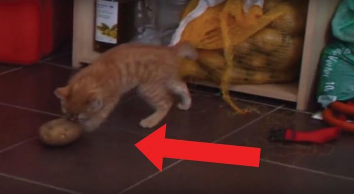 Un chaton aux prises avec une pomme de terre: le jeu est un mélange de terreur et d'amusement