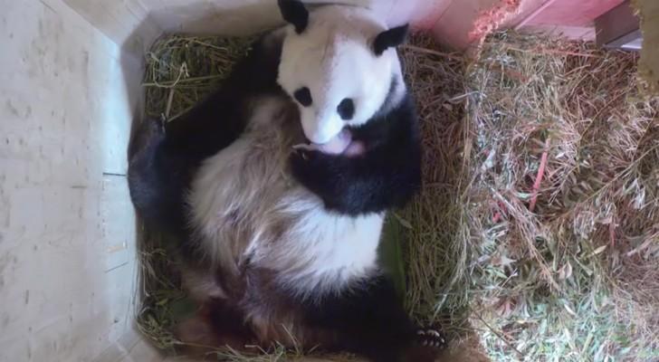 Deze panda is net bevallen van een tweeling. De manier waarop ze voor haar jongen zorgt, is prachtig om te zien!
