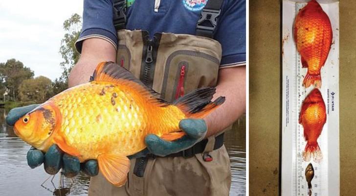 Voilà pourquoi vous ne devriez JAMAIS vous débarrasser de votre poisson rouge dans la nature